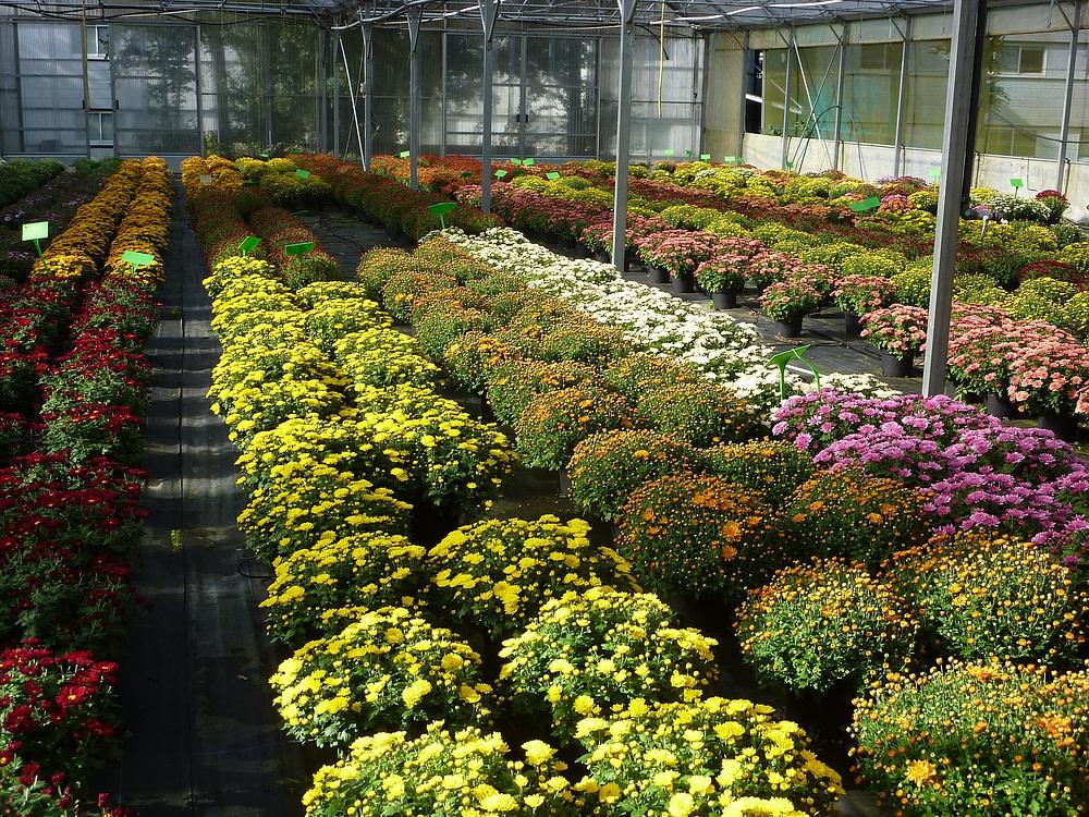 Chrysanthemums in glasshouse